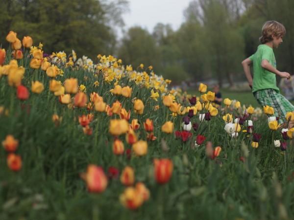 Tulips, Daffodils and Child
