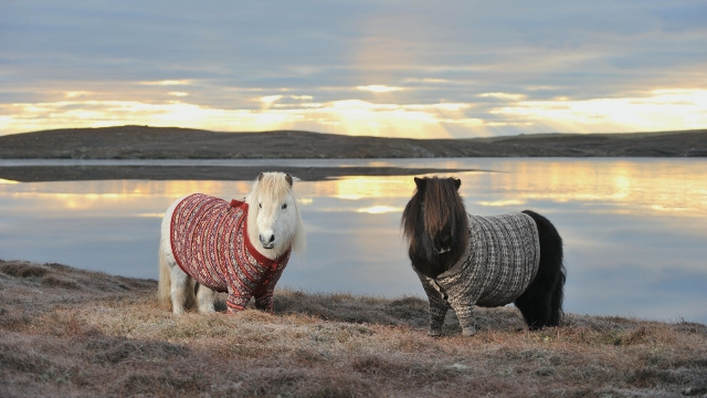 shetland-ponies-in-sweaters