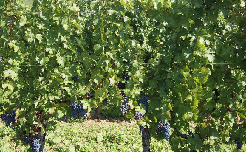 It's not our <em>Pfalz!</em>  Kulinarische Weinwanderung Freinsheim 2015