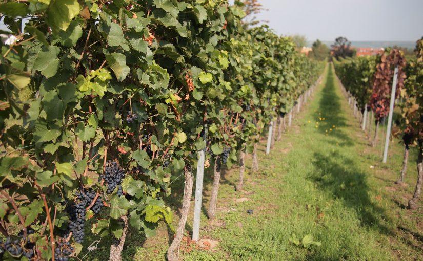 Freinsheimer Kulinarische Weinwanderung die Dritte