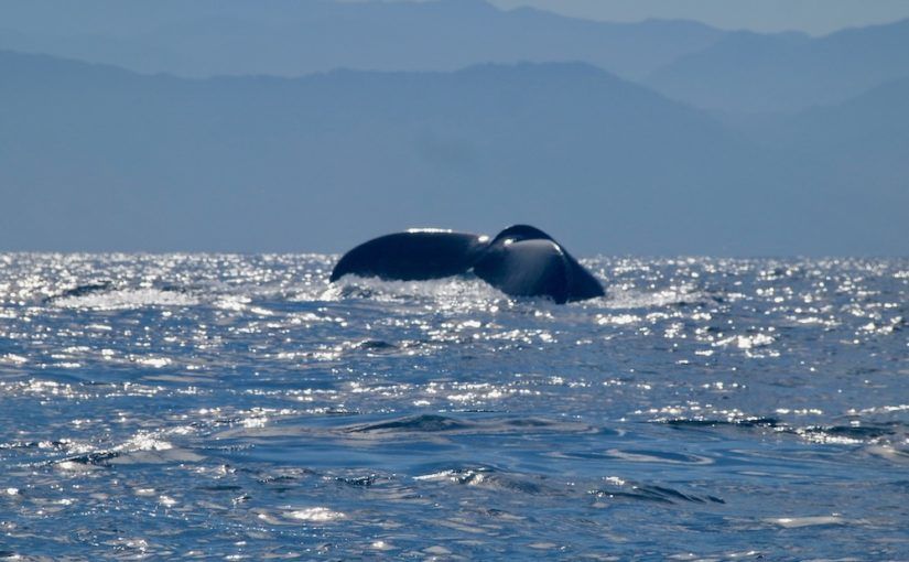 Fun Things to do around Puerto Vallarta:  Whale Watching